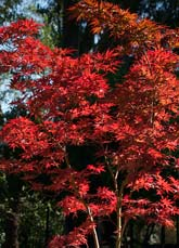 Wildwood Nursery Sf Bay Area Dwarf Japanese Maples For